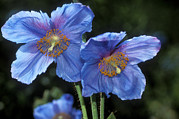 Blue Flowers Photos - Himalayan Poppy (meconopsis Grandis) by Dr Keith Wheeler