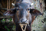 Indian Photos - Hindu Cow by Steven Gray