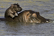 Hippopotamus Photo Posters - Hippo Baby Enjoying Life On Mums Back Poster by Manoj Shah
