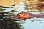 Hippopotamus Metal Prints - Hippo Scope Metal Print by Jan Amiss Photography