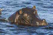 Hippopotamus Hippopotamus Amphibius Print by Suzi Eszterhas
