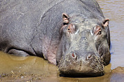 Hippopotamus Posters - Hippopotamus Up Close Poster by Marion McCristall