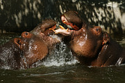 Hippopotamus Posters - Hippos Having Fun Poster by Ernie Echols