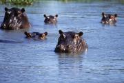 African Wild Life Posters - Hippos Swimming In River In Okavango Poster by Axiom Photographic