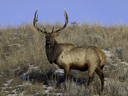 Bull Elk Digital Art Posters - His Majesty Poster by Greg Jones