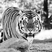 The Tiger Photo Metal Prints - His Majesty Metal Print by Scott Pellegrin
