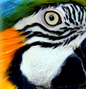 Macaws Prints - His Watchful Eye Print by Karen Wiles