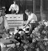 Factory Work Posters - Historic Pineapple Factory - Florida - c 1906 Poster by International  Images