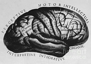 Cerebrum Posters - Historical Drawing Of Brain Poster by Science Source