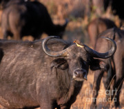 Cape Buffalo Prints - Hitching A Ride 1 Print by Sandra Bronstein