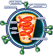 Causes Posters - Hiv Virion Structure Poster by Science Source