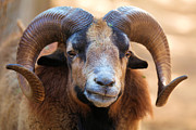 Big Horn Sheep Photos - Ho-Hum by Adam Jewell