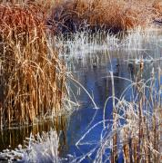 Hoar Frost Posters - Hoar Frost on Reeds Poster by Marilyn Hunt
