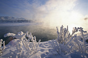 Yukon River Prints - Hoarfrost Covers Branches On The Banks Print by Paul Nicklen