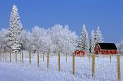 Evergreen Trees Posters - Hoarfrost On Trees Around Red Barns Poster by Mike Grandmailson