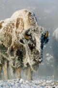 Bison Photo Posters - Hoarfrosted Bison in Yellowstone Poster by Sandra Bronstein
