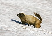 Hoary Prints - Hoary Marmot In The Snow Print by Bob Gibbons