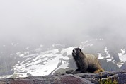 Hoary Prints - Hoary Marmot On A Rock Print by Bob Gibbons