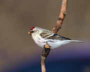 Hoary Prints - Hoary Redpoll Print by Tony Beck