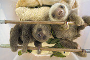 Sloth Photo Posters - Hoffmanns Two-toed Sloth Orphaned Babies Poster by Suzi Eszterhas