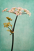 Dreamy Flower Prints - Hogweed Print by Iris Lehnhardt