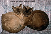 Tonkinese Posters - Hold a True Friend Poster by Sally Weigand