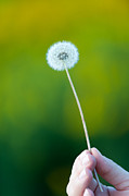 Dandelions Photos - Holding on to the last days of summer by Sebastian Musial