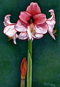 Botanical Drawings - Holiday Amaryllis by Gloria  J Callahan