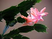 Salmon Digital Art Originals - Holiday Cactus - On Wings by Lucyna A M Green