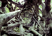 Strangler Fig Metal Prints - Hollow Trunk Of Strangler Fig Metal Print by Greg Dimijian