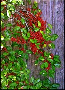 Fruitful Framed Prints - Holly Berries Framed Print by Judi Bagwell