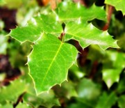 Nature Photography - Holly Leaves by Cathie Tyler