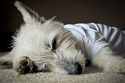 Westie Terrier Photos - Holly Riera by Vicki Jauron