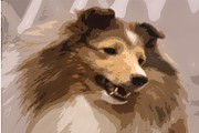 Collie Digital Art Posters - Holly the Collie Poster by Donna G Smith