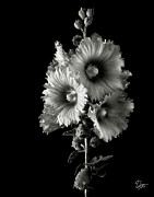 Flower Photos Framed Prints - Hollyhock in Black and White Framed Print by Endre Balogh