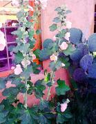 Hollyhocks Photos - Hollyhocks and Cactus at a Shop Gallery Window by Charlie Spear