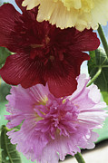 Hollyhocks Photos - Hollyhocks by Archie Young