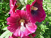 Patty  Leclerc - Hollyhocks