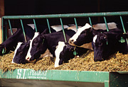 Holstein Dairy Cows Print by Photo Researchers