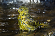 Bathing Washing Cleaning Prints - Holubs Golden Weaver Print by Tony Camacho