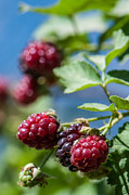 Unripe Prints - Holy Bramble  Blackberries  Print by Gady Cojocaru