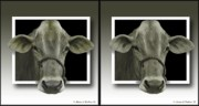 Crossview Framed Prints - Holy Cow - Gently cross your eyes and focus on the middle image Framed Print by Brian Wallace