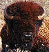 Bison Digital Art Metal Prints - Home On the Range Metal Print by Bill Cannon and Pat Cannon