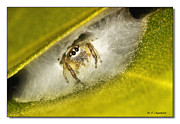 Jumping Spiders Framed Prints - Home sweat Home 0001 Framed Print by Kevin Chippindall