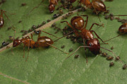 Animal Behavior Art - Honey Ants Gather Honey Dew Secreted by George Grall