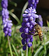 March Photos - Honey Bee and Grape Hyacinth by Chris Berry