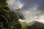 Animals And Earth Metal Prints - Honey Bee Apis Mellifera Approaching Metal Print by Mark Moffett