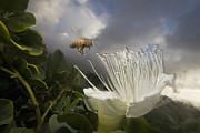 Honey Bee Apis Mellifera Approaching Print by Mark Moffett