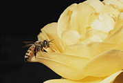 Physiology Art - Honey Bee Apis Mellifera On Rose by Brian Gordon Green