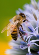 Honey Bee Posters - Honey Bee Poster by Bill  Wakeley